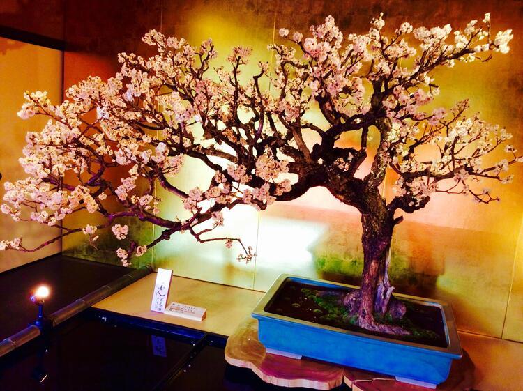 盆梅展ライブラリー1