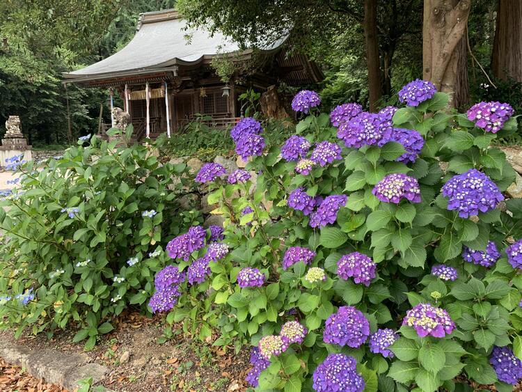 矢川神社 紫陽花