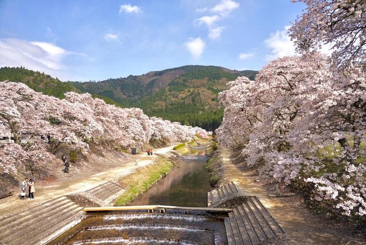 鮎川千本桜
