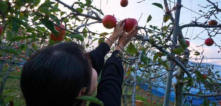 マキノピックランド-リンゴ狩り.jpg