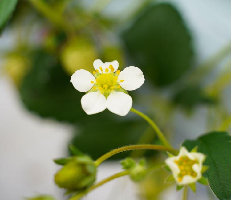 ストロベリーファクトリー花.jpg