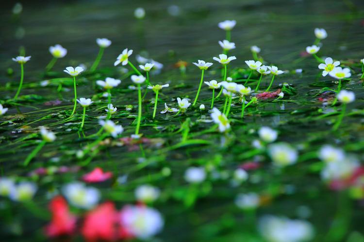 1.梅花藻.jpg