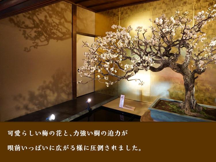 盆梅展-黄金.jpg
