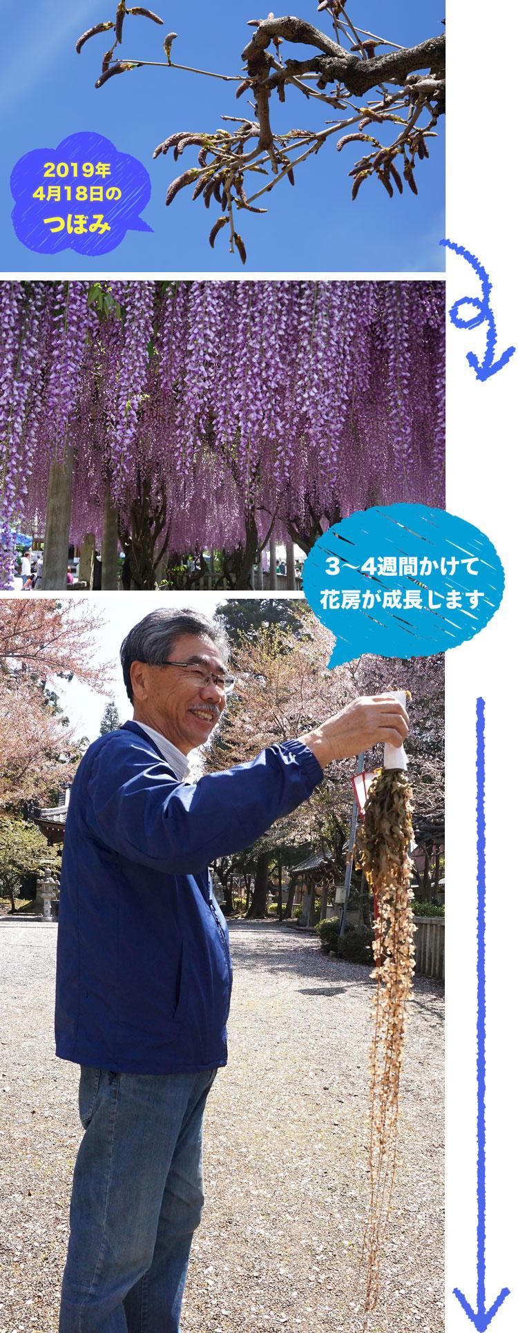 藤の花-成長.jpg