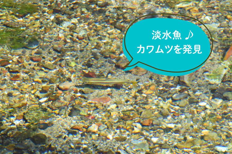 地蔵川-カワムツ.jpg