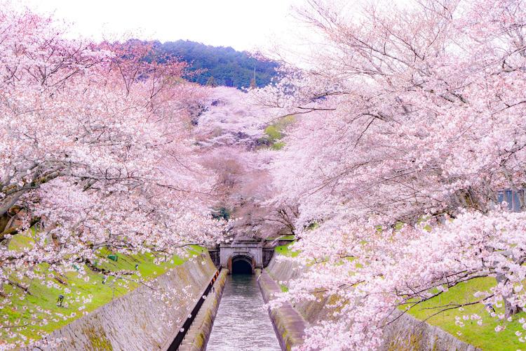 琵琶湖疏水の桜.
