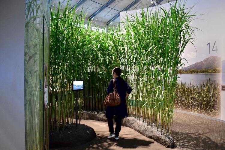 琵琶湖博物館ヨシ
