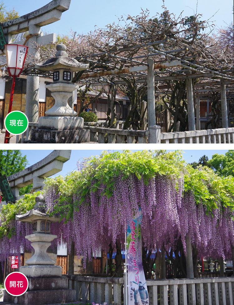 藤-開花.jpg
